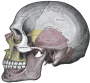 fh:gray_side_view_skull.png